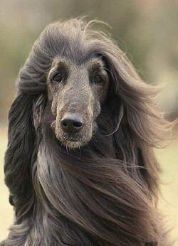 hunde afghanischer windhund hunderasse steckbrief